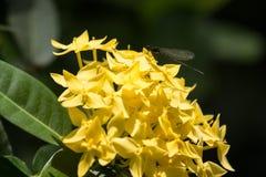 Κίτρινο λουλούδι Plumeria και μαύρη λιβελλούλη Στοκ Φωτογραφία