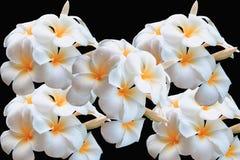 Κίτρινο λουλούδι plumeria Στοκ εικόνες με δικαίωμα ελεύθερης χρήσης