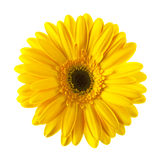 Κίτρινο λουλούδι μαργαριτών που απομονώνεται Στοκ Εικόνα
