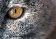 Κίτρινο μάτι γατών κινηματογραφήσεων σε πρώτο πλάνο με την γκρίζα γούνα Στοκ εικόνα με δικαίωμα ελεύθερης χρήσης