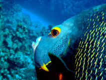 Κίτρινο μάτι Anglefish W Στοκ Φωτογραφίες