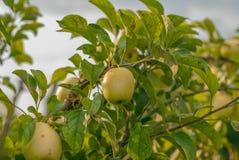 Κίτρινο μήλο μεταξύ των φύλλων Στοκ Φωτογραφίες