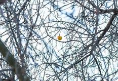 Κίτρινο μήλο σε έναν κλάδο στο χιόνι Στοκ Φωτογραφία