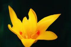 Κίτρινο μεγάλο λουλούδι στοκ εικόνα