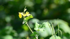 Κίτρινο μεγαλύτερο λουλούδι celandine σε πράσινο που θολώνεται φιλμ μικρού μήκους