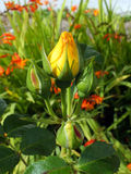 Κίτρινο μπουμπούκι τριαντάφυλλου Στοκ Φωτογραφία