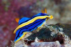 Κίτρινο, μπλε, άσπρο, πορφυρό και μαύρο nudibranch Υποβρύχιο pho Στοκ φωτογραφία με δικαίωμα ελεύθερης χρήσης