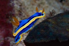 Κίτρινο, μπλε, άσπρο, πορφυρό και μαύρο nudibranch Υποβρύχιο pho Στοκ Φωτογραφία
