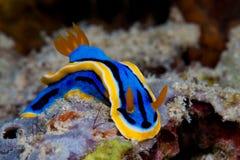 Κίτρινο, μπλε, άσπρο, πορφυρό και μαύρο nudibranch Υποβρύχιο pho Στοκ φωτογραφίες με δικαίωμα ελεύθερης χρήσης