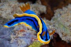 Κίτρινο, μπλε, άσπρο, πορφυρό και μαύρο nudibranch Υποβρύχιο pho Στοκ Εικόνες