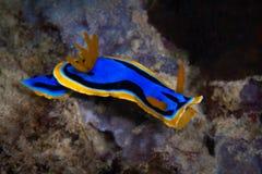 Κίτρινο, μπλε, άσπρο, πορφυρό και μαύρο nudibranch Υποβρύχιο pho Στοκ Φωτογραφίες