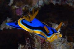 Κίτρινο, μπλε, άσπρο, πορφυρό και μαύρο nudibranch Υποβρύχιο pho Στοκ εικόνες με δικαίωμα ελεύθερης χρήσης