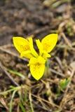 Κίτρινο νάνο λουλούδι ίριδων Στοκ εικόνες με δικαίωμα ελεύθερης χρήσης