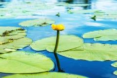 Κίτρινο νερό λουλουδιών lilly Στοκ Εικόνα
