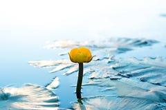 Κίτρινο νερό Lili στην επιφάνεια του ποταμού στοκ φωτογραφία με δικαίωμα ελεύθερης χρήσης