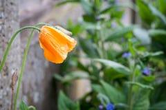 Κίτρινο ξύλινο λουλούδι παπαρουνών με τα σταγονίδια νερού Στοκ Φωτογραφίες
