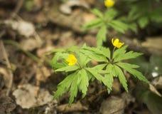 Κίτρινο ξύλινο anemone ή Anemone ranunculoides Στοκ εικόνες με δικαίωμα ελεύθερης χρήσης