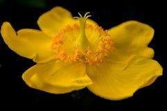 Κίτρινο ξύλινο anemone Στοκ φωτογραφία με δικαίωμα ελεύθερης χρήσης