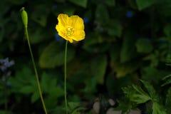 Κίτρινο ουαλλέζικο λουλούδι παπαρουνών Στοκ εικόνα με δικαίωμα ελεύθερης χρήσης