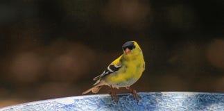 Κίτρινο λουτρό finch-πουλιών στοκ εικόνα με δικαίωμα ελεύθερης χρήσης