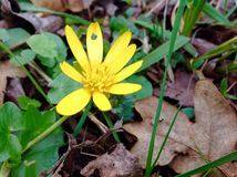 Κίτρινο λουλούδι ανθών και πράσινο φύλλο Στοκ φωτογραφίες με δικαίωμα ελεύθερης χρήσης