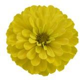 Κίτρινο λουλούδι απομονωμένο στο λευκό υπόβαθρο με το ψαλίδισμα της πορείας καμία σκιά Όμορφο λουλούδι μαργαριτών για το σχέδιο c Στοκ Εικόνα