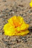 Κίτρινο λουλούδι βαμβακιού Στοκ Φωτογραφία