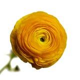Κίτρινο λουλούδι βατραχίων Στοκ εικόνες με δικαίωμα ελεύθερης χρήσης