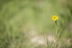Κίτρινο λουλούδι γενειάδων αιγών Στοκ Εικόνες