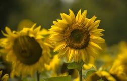 Κίτρινο λουλούδι ηλίανθων σε έναν πράσινο μίσχο Στοκ φωτογραφία με δικαίωμα ελεύθερης χρήσης