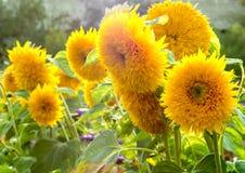 Κίτρινο λουλούδι ηλίανθων στοκ εικόνα