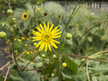 Κίτρινο λουλούδι λιβάδι-αποβαθρών στην άνθιση στοκ εικόνες
