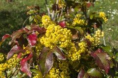 Κίτρινο λουλούδι κήπων άνοιξης Στοκ φωτογραφία με δικαίωμα ελεύθερης χρήσης