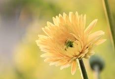 Κίτρινο λουλούδι κήπων Στοκ εικόνες με δικαίωμα ελεύθερης χρήσης