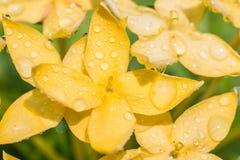 Κίτρινο λουλούδι, κίτρινο coccinea Ixora Στοκ Εικόνες