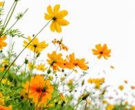 Κίτρινο λουλούδι και άσπρο υπόβαθρο Στοκ Εικόνες
