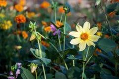 Κίτρινο λουλούδι κινηματογραφήσεων σε πρώτο πλάνο (japonica Anemone) Στοκ φωτογραφίες με δικαίωμα ελεύθερης χρήσης
