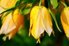 Κίτρινο λουλούδι κουδουνιών Στοκ Εικόνες