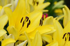 Κίτρινο λουλούδι κρίνων Στοκ εικόνες με δικαίωμα ελεύθερης χρήσης