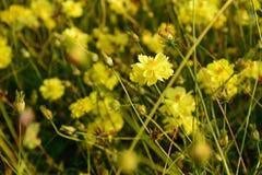 Κίτρινο λουλούδι κόσμου στοκ φωτογραφίες με δικαίωμα ελεύθερης χρήσης