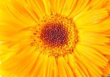 Κίτρινο λουλούδι μαργαριτών κινηματογραφήσεων σε πρώτο πλάνο Μακρο πλάνο ενάντια ανασκόπησης μπλε σύννεφων πεδίων άσπρο σε wispy  Στοκ Εικόνα