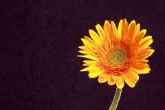 Κίτρινο λουλούδι μαργαριτών με το backlight Στοκ φωτογραφία με δικαίωμα ελεύθερης χρήσης