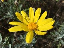 Κίτρινο λουλούδι μαργαριτών στοκ φωτογραφίες