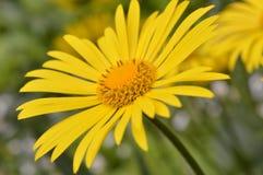 Κίτρινο λουλούδι μαργαριτών Στοκ εικόνες με δικαίωμα ελεύθερης χρήσης