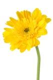 Κίτρινο λουλούδι μαργαριτών gerbera Στοκ Φωτογραφίες