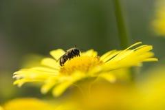 Κίτρινο λουλούδι με μια μέλισσα Στοκ Εικόνα