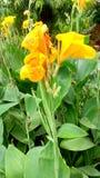 Κίτρινο λουλούδι με τα πράσινα φύλλα Στοκ Φωτογραφίες