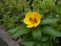 Κίτρινο λουλούδι με την πεταλούδα στοκ εικόνες με δικαίωμα ελεύθερης χρήσης