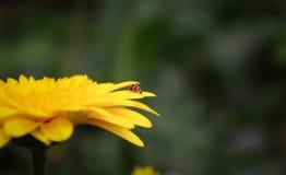 Κίτρινο λουλούδι με το γυναικείο ζωύφιο Στοκ φωτογραφία με δικαίωμα ελεύθερης χρήσης