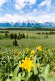 Κίτρινο λουλούδι με το εθνικό πάρκο Gran Teton Στοκ φωτογραφία με δικαίωμα ελεύθερης χρήσης